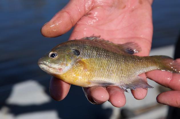 bluegill fish in hands