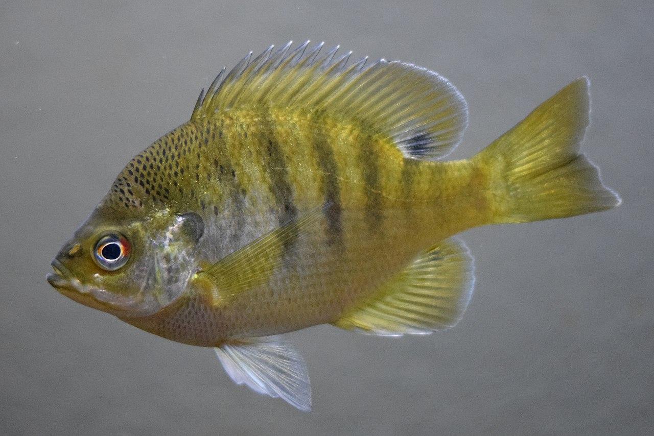 fish bluegill